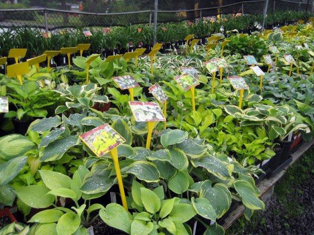 See Hundreds Of Hostas And Perennials At Budd Gradens